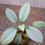 """熱帯植物 ホマロメナ Homalomena sp. """"E.S.1"""" Kepulauan Riau【SGP import】"""