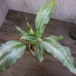熱帯植物 スキスマトグロッティス Schismatoglottis sp.Kuala Berang