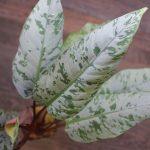 熱帯植物 ホマロメナ Homalomena sp.チン州 パレットワ地域産