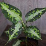 熱帯植物 アグラオネマ Aglaonema pictum ニルバーシュ
