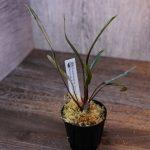 熱帯植物 wf1 f1 実生 人工授粉 ホマロメナ Homalomena sp. Narrow Red Morowali,Sulawesi wf1 育成記録