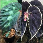 ベゴニア 原種Begoniaの交配記録 cross mating 熱帯植物