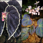 ベゴニア Begonia sp. 交配 原種ベゴニア