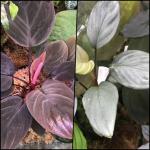 ホマロメナ Homalomena 交配 mating cross 熱帯植物